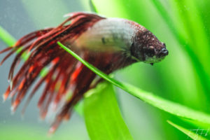Betta splendens crowntail, frantz fabre photographie